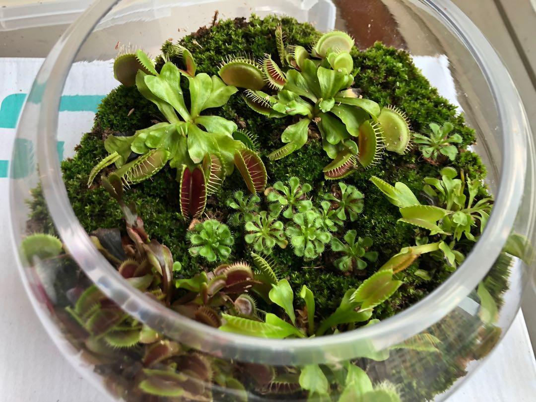 Venus Fly Trap Terrarium Gardening Plants On Carousell