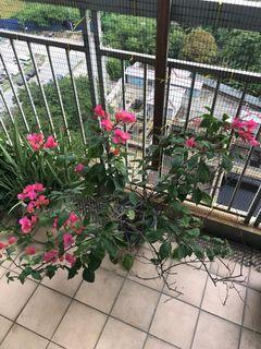 Bougainvillea Plant / Bunga Kartas