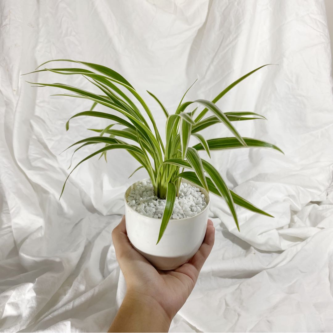 Variegated Spider Plant Potted Gardening Flowers Plants On Carousell
