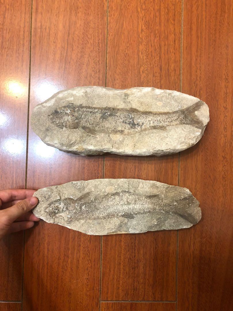 化石 魚 擺飾 收藏
