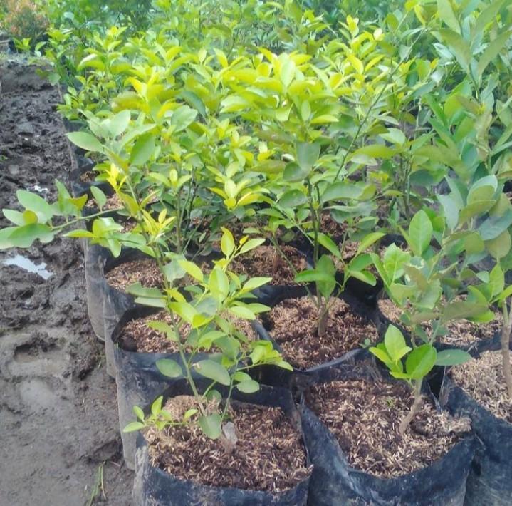 Bibit Pohon Buah Jeruk Nipis
