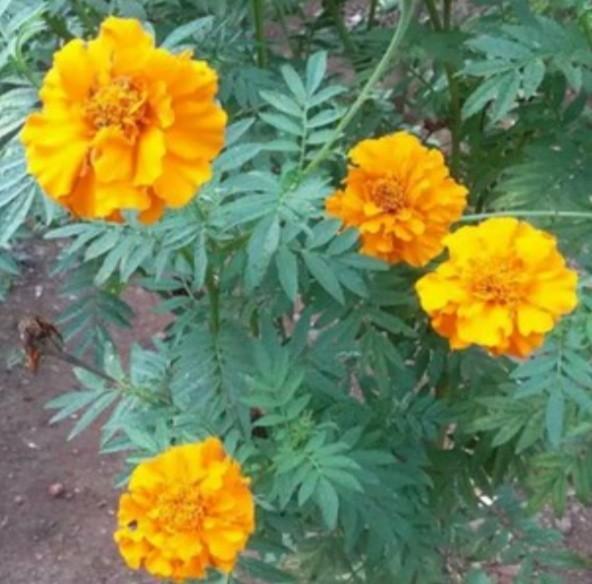Bunga Tahi Kotok