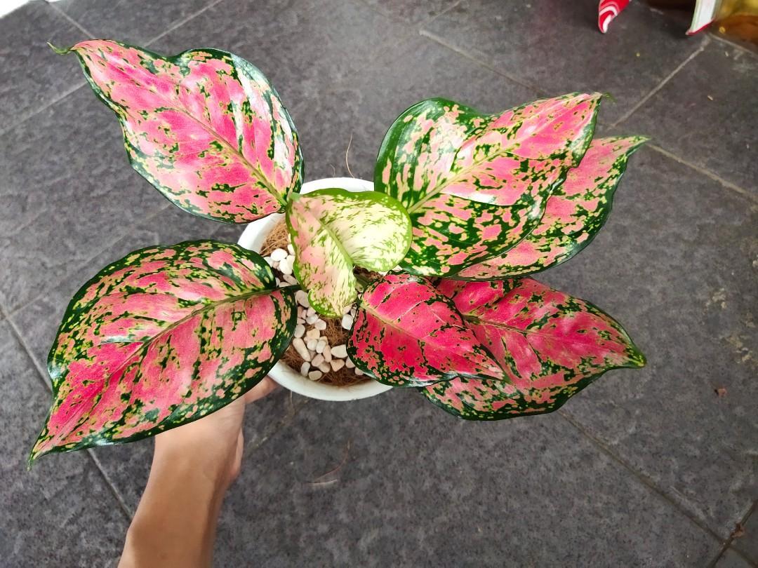 Aglonema pink anjamani