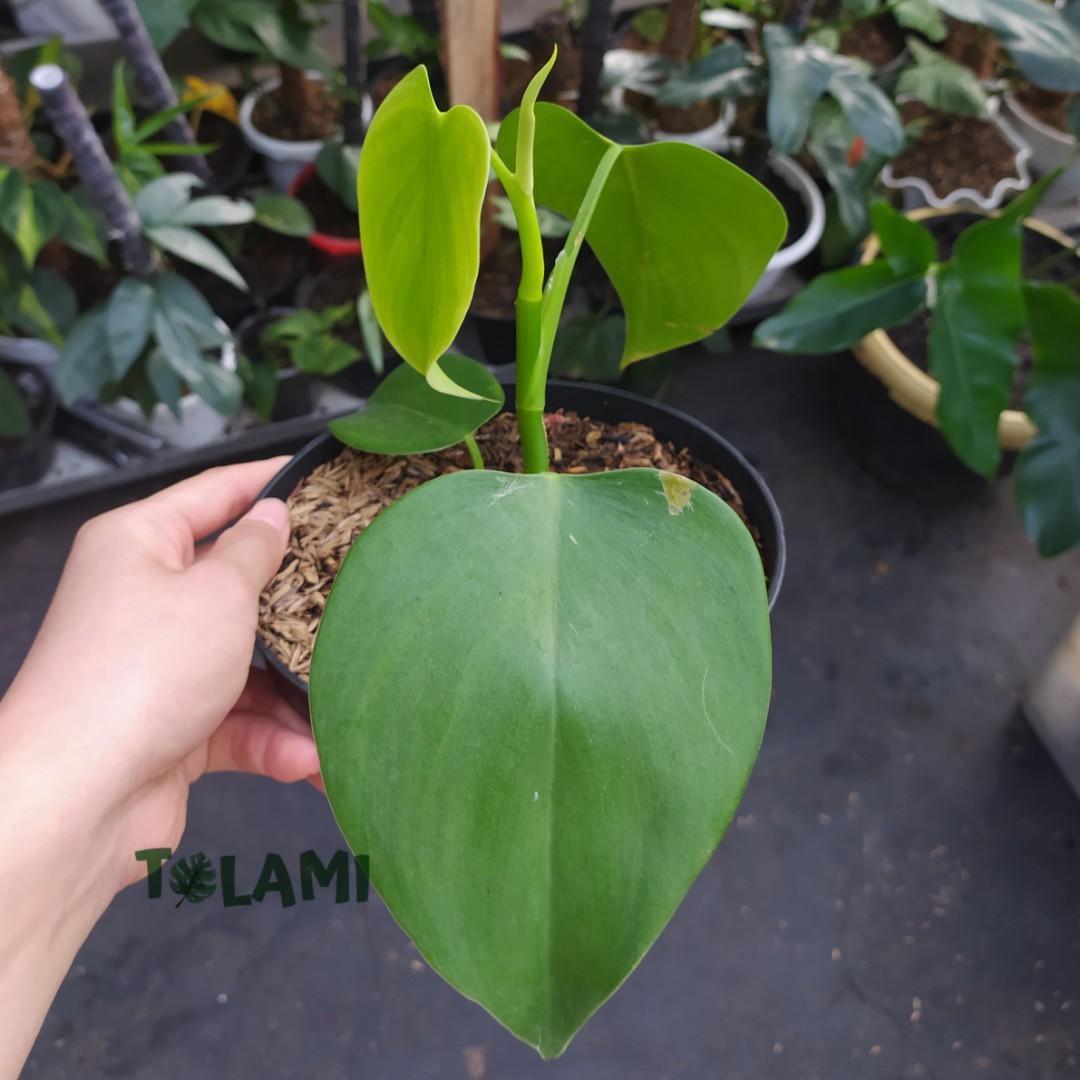 Tanaman Hias Philodendron microstictum