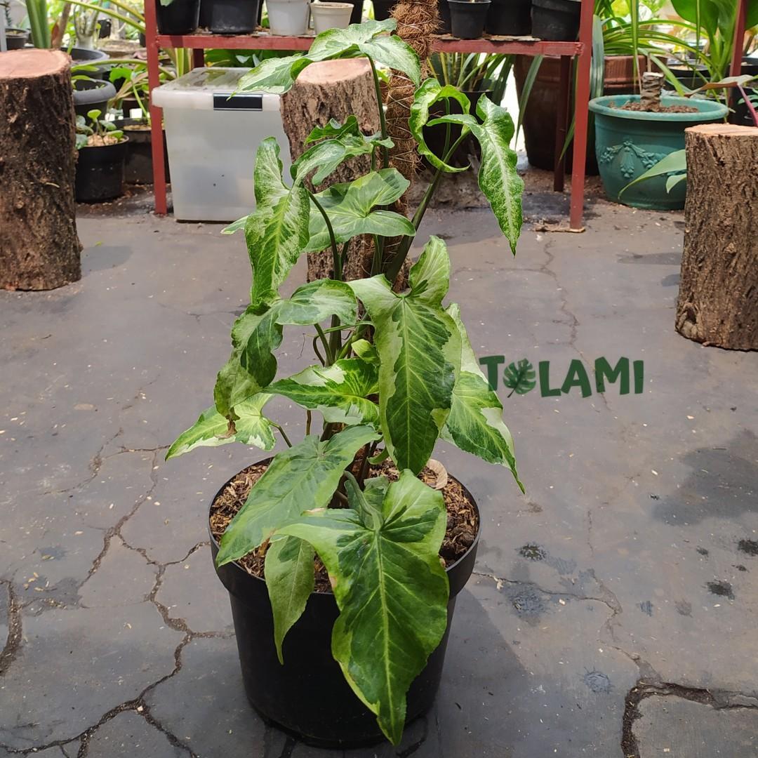 Tanaman Hias Syngonium three kings - turus rimbun