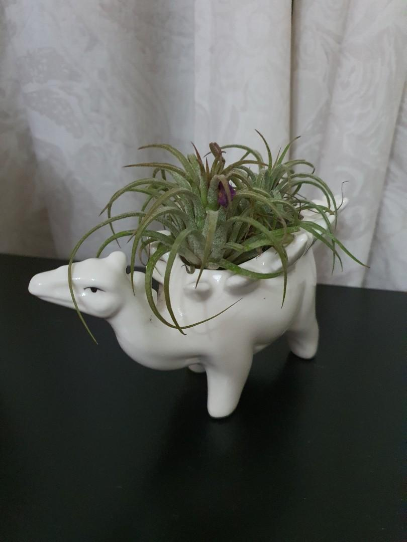 Dino Plant Pot With Air Plant Home Furniture Gardening On Carousell