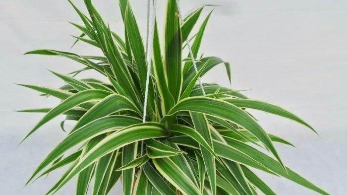 Spider Plant / Bunga Laba-Laba