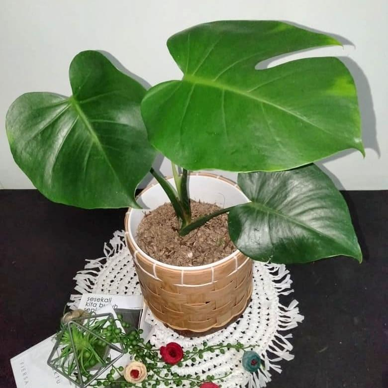 Monstera king remaja