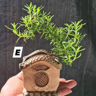Rosemary Bonsai (each different prices)