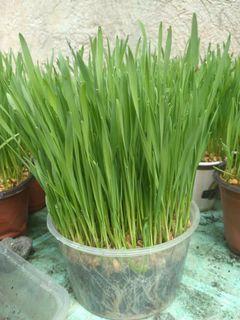 Cat Grass Pet Grass Dog Grass