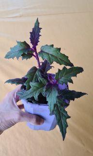 Gynura aurantiaca / purple passion