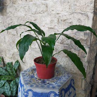 ❤️ Peace Lily in Pot