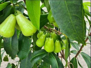 Rare White/Green Jambu Plantlet