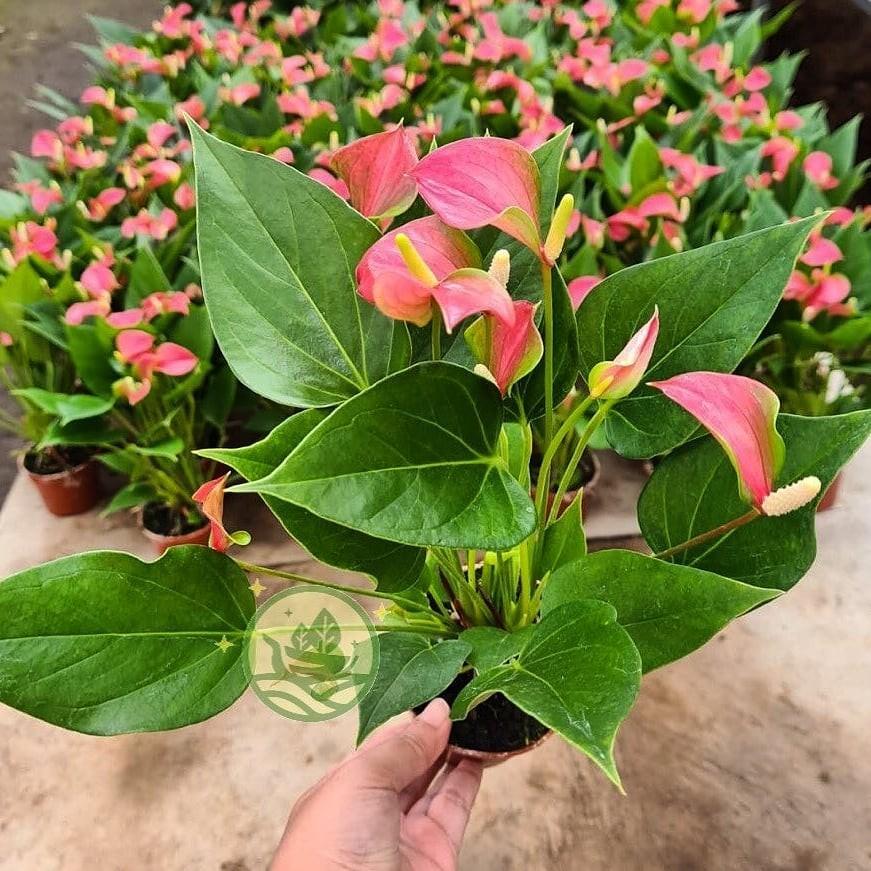 Anthurium bunga pink mini