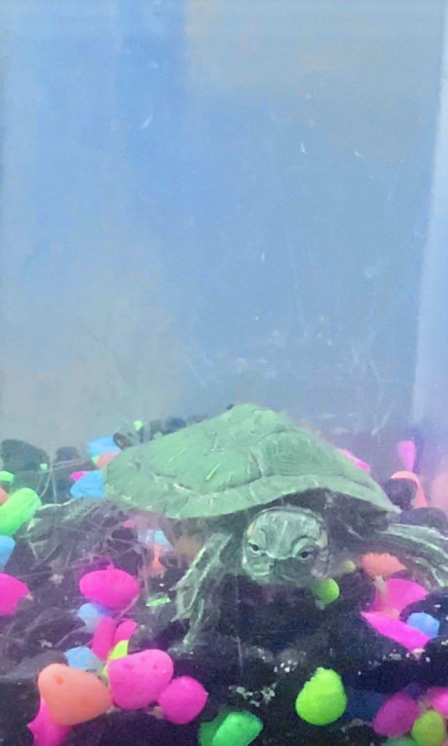 BABY RED EARED TURTLE