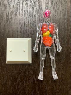 透視人體器官模型