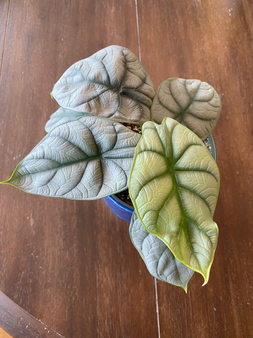 """Alocasia """"Silver Dragon"""" plant"""