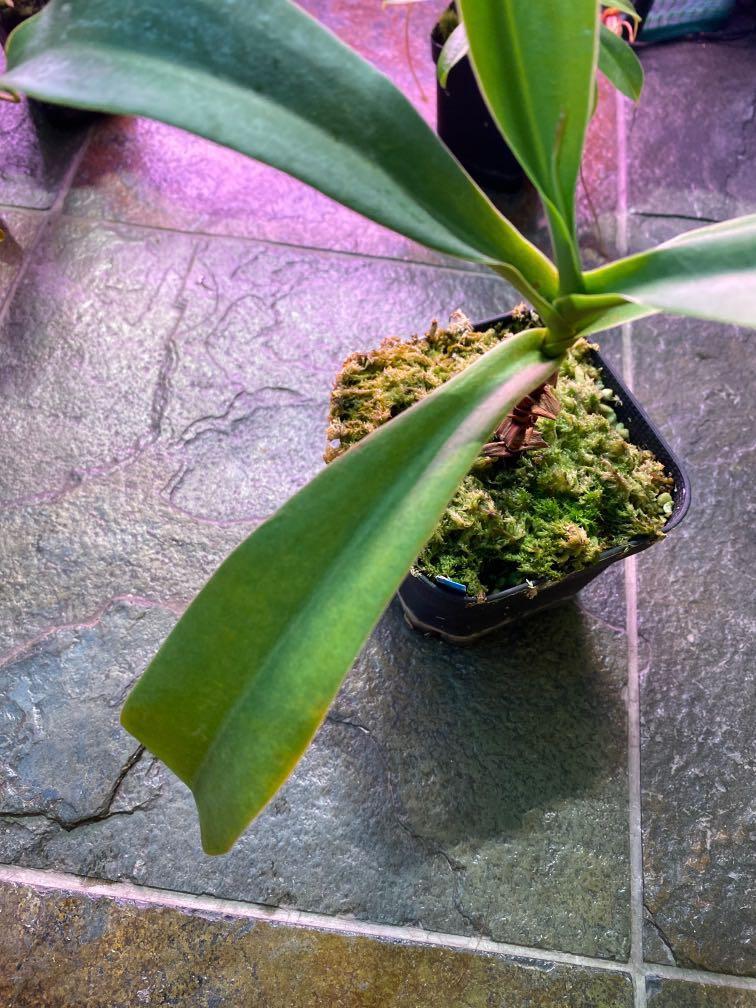 Nepenthes merriliana x spathulata