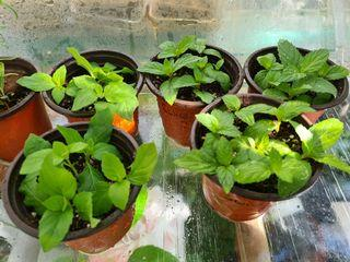 Mint with ID, in 9cm pot