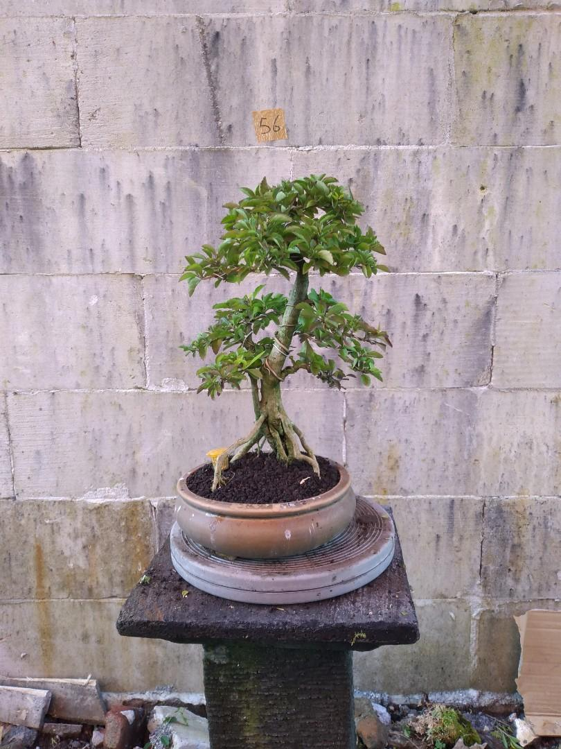 Bonsai Duranta 56 SG
