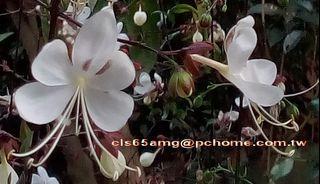 6尺.白玉蝶.垂茉莉.花期長.白色浪漫的長花穗.花量多.全日照/半日照均可.美化庭園.綠化環境.前人種樹.後人乘涼