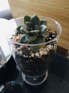 """Cute 2.5"""" succulents plant pot graptoveria opalina"""
