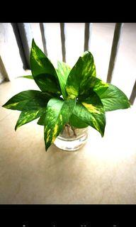 To bless free give away Money plant