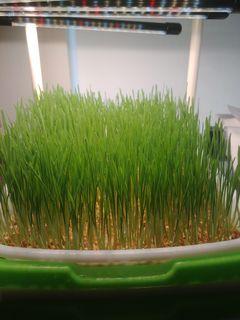 Fresh Wheatgrass ready to be juiced!