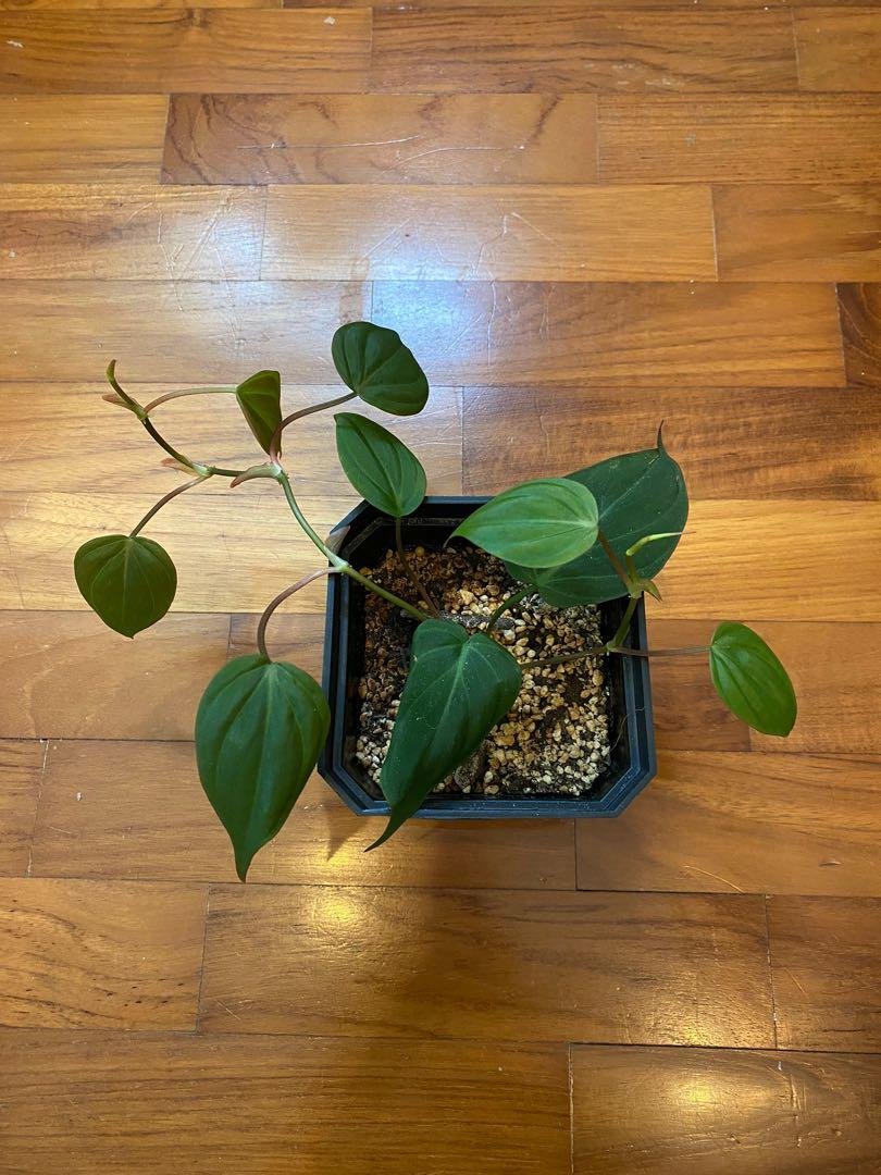 Baby Philodendron Micans 1