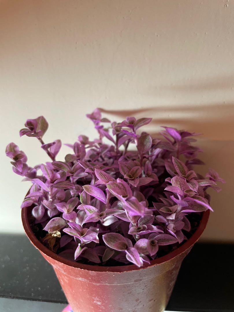 熱門胭脂雲/紫色小盆