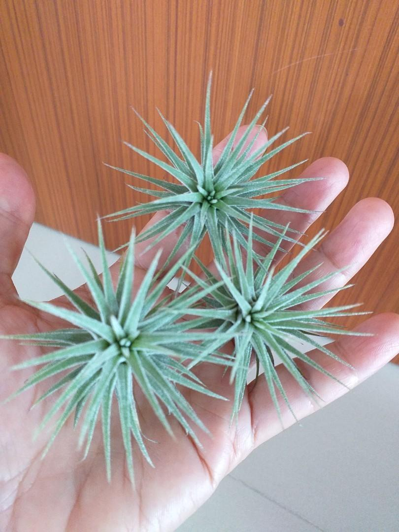 Air Plant for sale(3@$10)