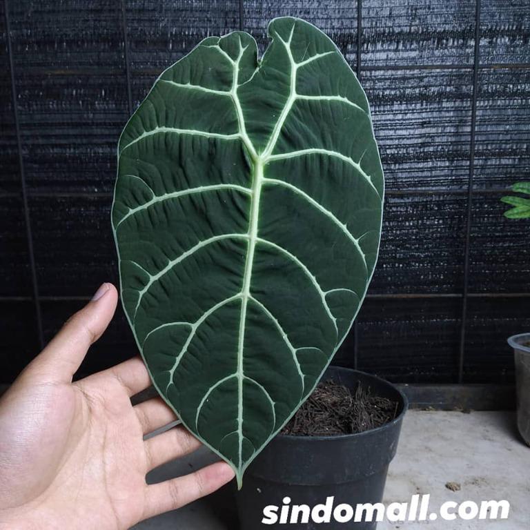 Alocasia Watsoniana Velvet (send BULB only) R070421-8