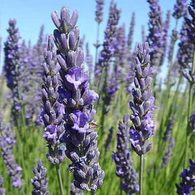 醒目薰衣草精油Lavender oil