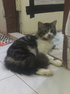 Kucing Persia bigbone jantan