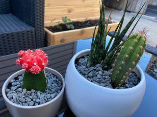 Cactus/ succulent