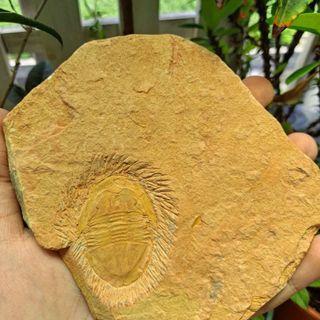 光滑謝高德三葉蟲化石