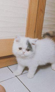 Kucing exotic betina calico