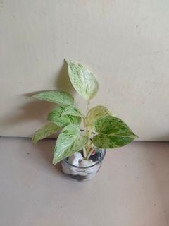 Tanaman sirih gading putih mini tanaman hias indoor dalam pot gelas mini