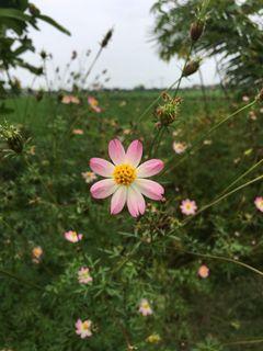 Bibit Tanaman Bunga Kenikir