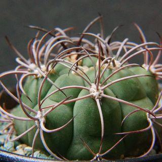 美刺豹子頭 仙人球 連盆 盆栽 Cactus plants 多肉  植物 耐乾 仙人掌 會