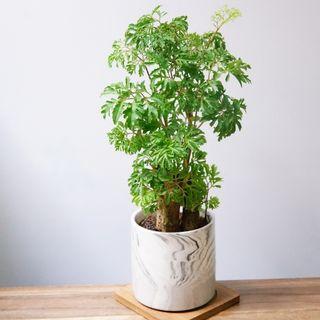 30cm 日本森樹  連花盆+底碟  植物 盆栽 室內  indoor plants 福祿桐 森樹 bonsai 【實物拍攝。只有一盆】