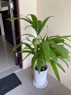 Arca Palm