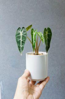 Baby Alocasia Amazonica 'Bambino Arrow'  黑箭葉海芋    連盆碟 17cm(H) Low Light Plant Houseplants 盆栽 植物 Foliage【實拍如圖。一物一圖】