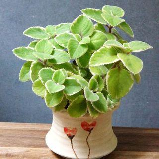 Hold) 香味濃 )  到手香 斑葉 連盆 17cm(H) Mexican Mint(variegation) Organic Herb Plants 植物 左手香 到手香 Cuban Oregano/Indian Borage 【實拍.現貨.連盆.如圖】