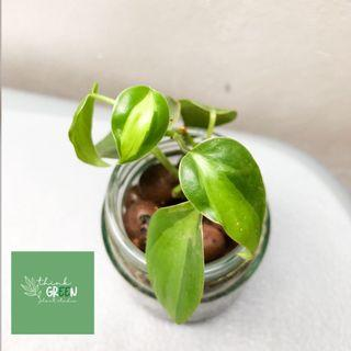 Philodendron Brasil on Leca