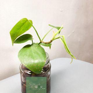 Philodendron Heartleaf