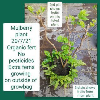 Fruiting mulberry plant (organic fertiliser, no pesticides, edible, cutting)