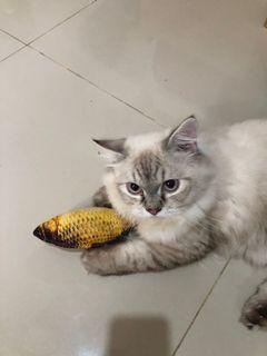 Kucing Persia himalaya Jantan
