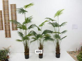 2m Fan palm