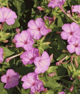 Mirabilis Jalapa Four O'Clock Flower Seed Soft Pink